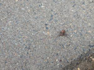 27 Spinnenvampier 2